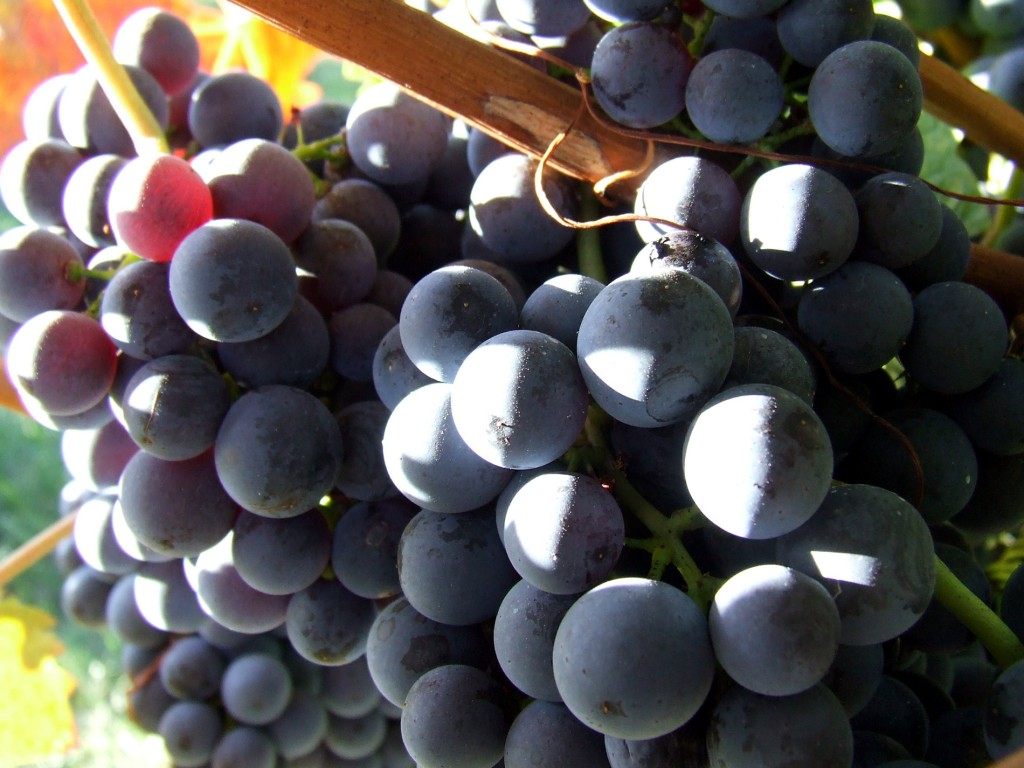 A szőlő is felcseperedett